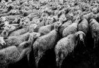 Schafsherde, Platzprobleme